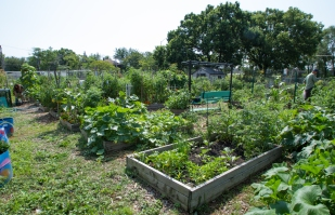 Urban farmers work on their garden plots at the Forest Park Community Garden on Saturday.